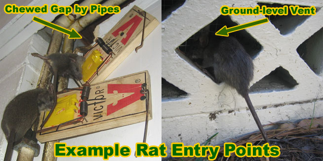 Rat Removal Cost Price And How To Remove Rats And Mice